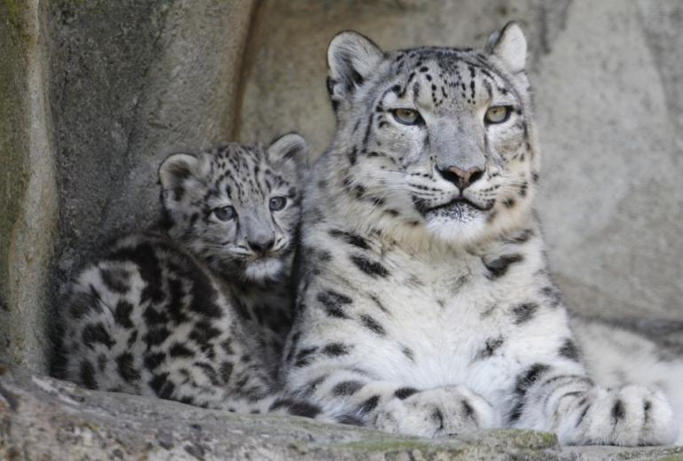 133162-snow-leopards